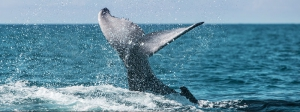 humpback-whales-turks-and-caicos